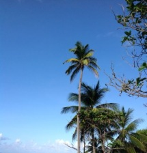 Coconut trees by the sea
